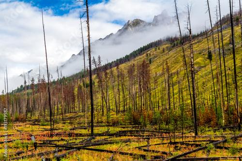 Fotografia  Prescribed burn area, Bow Valley Parkway, Banff National Park, Alberta, Canada