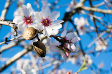 The Almond Tree Flowers With B...