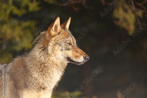 Wolf im Schnee Poster