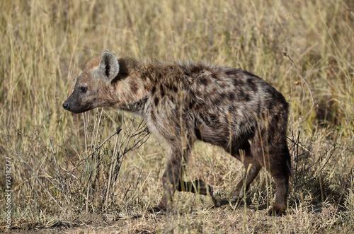 Foto op Canvas Hyena Hyäne in Kenia