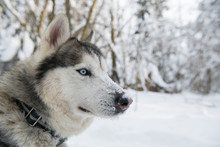 Siberian Husky Dog In Profile ...