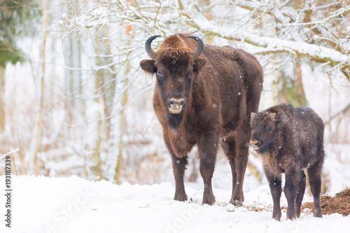 Valokuva  Large brown bisons Wisent family near winter forest with snow