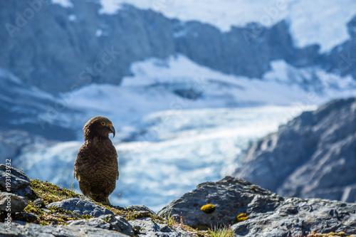 Fotografie, Obraz  Rare Kea Bird in front of Glacier in New Zealand