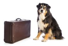 Tricolor Black Australian Shepherd With Suitcase