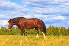 Shire Horse On A Summer Pasture