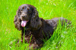 canvas print picture - English cocker spaniel in green grass