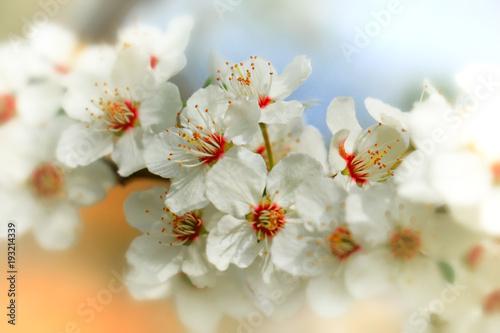 Obrazy kwiat jabłoni   kwiat-z-bliska