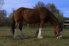 Clydesdale Mare Grazing