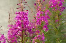 Fireweed Blooming By Trail;  S...