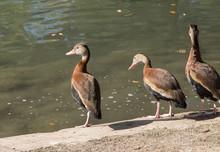 Three Brown Ducks Along Edge Of Water