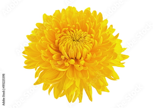 Foto Yellow chrysanthemum flower head