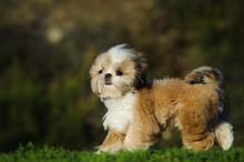 Shih Tzu Puppy Dog Walking Thr...