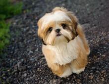 Shih Tzu Dog Standing On Road ...