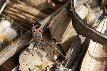 Boxelder Bug Beetle