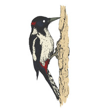 Woodpecker On Old Tree Branch In Vintage Engraving Style. Hand Drawn Vector Retro Illustration. Template For Cover, Poster, Banner, Greeting Card.