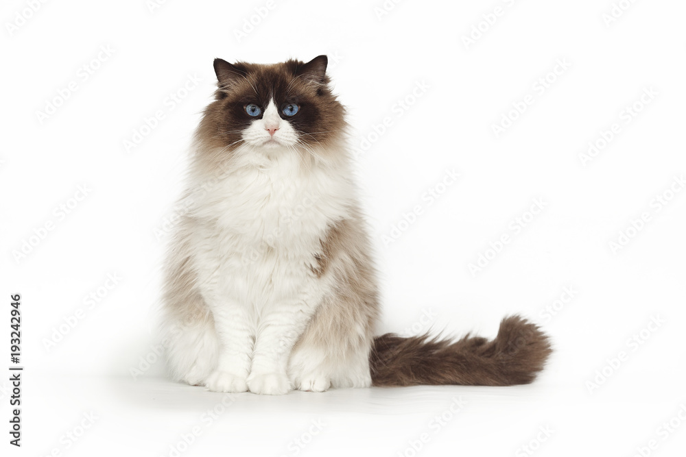 Fluffy beautiful cat ragdoll with blue eyes posing while sitting on studio white background. Cat isolated on white background.