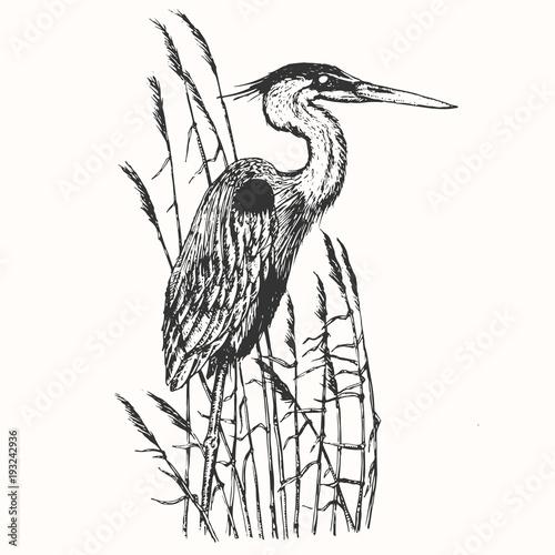 Fotografía Heron in vintage engraving style