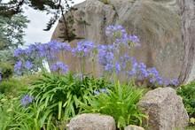Agapanthes Bleues Dans Un Jardin En Bretagne