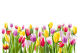 Fototapeta Tulips - Tulip flowers isolated on white