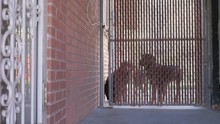 Three Guard Dogs Behind A Gate.
