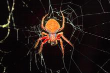 Orb-weaver Spider, Araneidae ,...