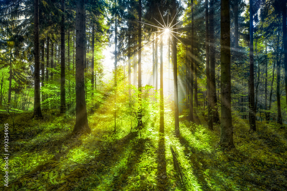 Fototapeta Zielony las w słonecznych promieniach - obraz na płótnie