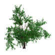 3D Rendering Bush Rosa Majalis on White