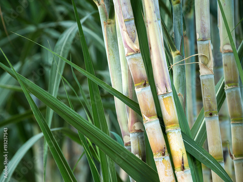 Canvastavla fresh sugarcane in garden.