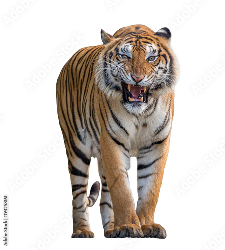Foto op Aluminium Tijger Tiger Roaring isolated on white background.