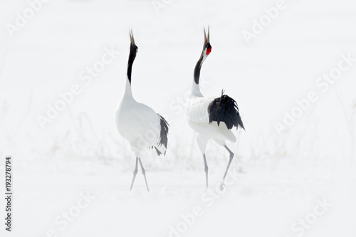 Photo  Dancing pair of Red-crowned crane with open wing in flight, with snow storm, Hokkaido, Japan