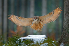 Eagle Owl Landing On Snowy Tre...