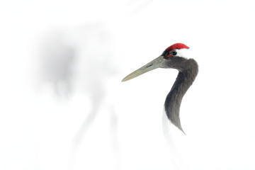 Art view on bird portrait. Red-crowned crane, Grus japonensis, head portrait with white and back plumage, winter scene, Hokkaido, Japan. High key photography. Head with crane in the white background.