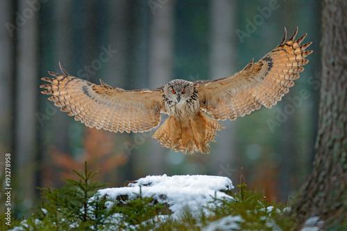 Naklejka premium Puchacz lądowanie na śnieżnym pniu drzewa w lesie. Latająca Eagle sowa z otwartymi skrzydłami w siedlisku z drzewami, ptasia komarnica. Akcja zimowa scena z natury, wildlige. Sowa, duża rozpiętość skrzydeł. Jesień las śnieg.