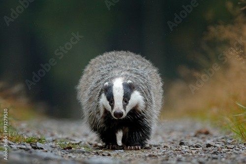 Badger running in forest road. Wallpaper Mural