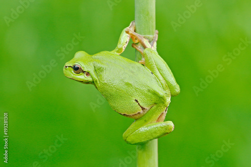 Foto op Plexiglas Kikker Nice green amphibian in nature habitat. Wild frog on meadow near the river, habitat. European tree frog, Hyla arborea, sitting on grass straw with clear green background.