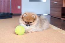 Pomeranian Puppy, Small Dog Wi...