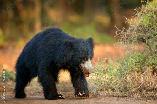 Sloth bear, Melursus ursinus, Ranthambore National Park, India. Wild Sloth bear nature habitat, wildlife photo. Dangerous black animal in India. Wildlife Asia. bute Animal on the road Asia forest.