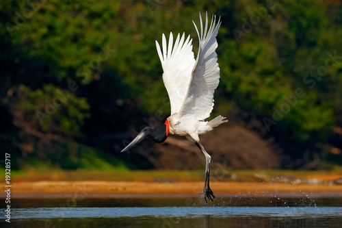 Foto  Flying white bird in tropic forest