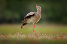 Red-legged Seriema, Cariama Cr...