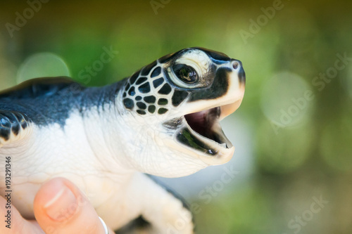 Poster Tortue Sea turtle. Sri Lanka