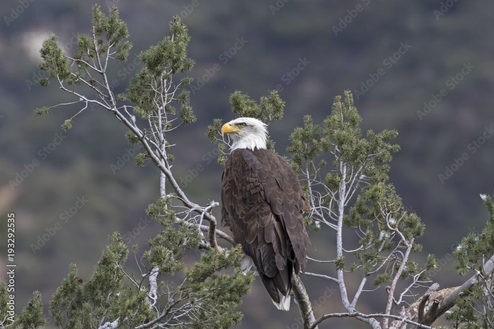 Bald eagle at tree top perch overlooking Los Angeles