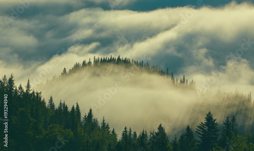 Poster Morning with fog Forest with the conifer trees in mist