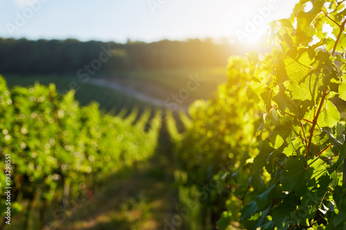 Rows of grapevine on a sunny day in a vineyard