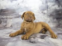 Dogue De Bordeaux With Gray Ma...