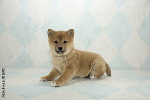Shiba Inu on cream and blue diamond background - Buy this