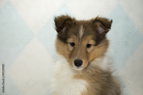 Shetland Sheepdog on cream and blue diamond background Poster