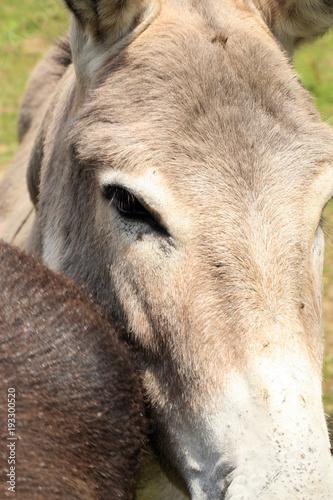 Herd of donkeys on breeding farm in Poland Canvas Print
