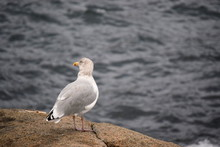 New England Seagull