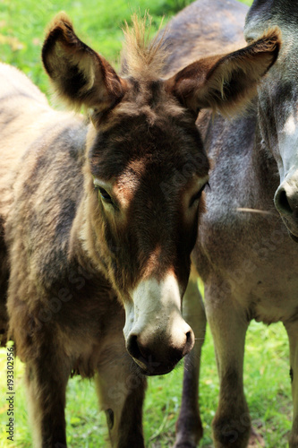 Herd of donkeys on breeding farm in Poland Fototapet