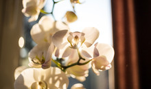 White Orchid Flower In Front Of Window. Close Up View With Details, Blurred Background.